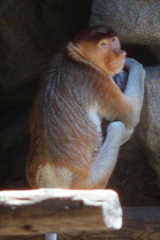 '12.8.5 proboscis monkey 0269