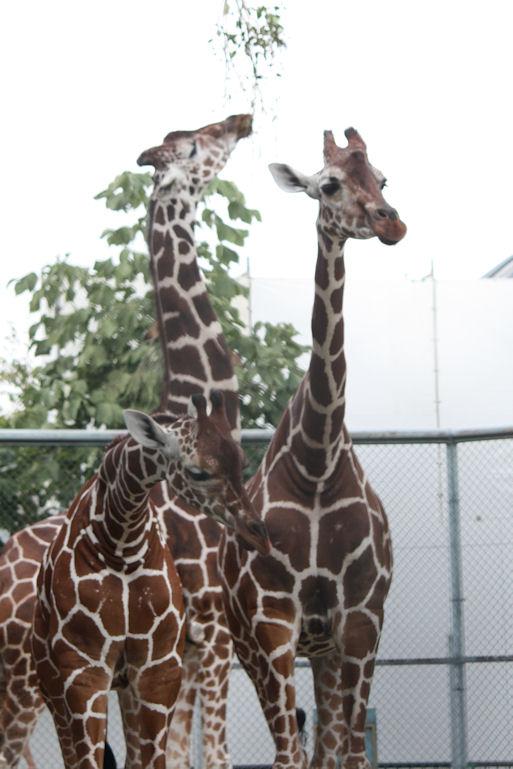 '12.9.14 giraffe 1268
