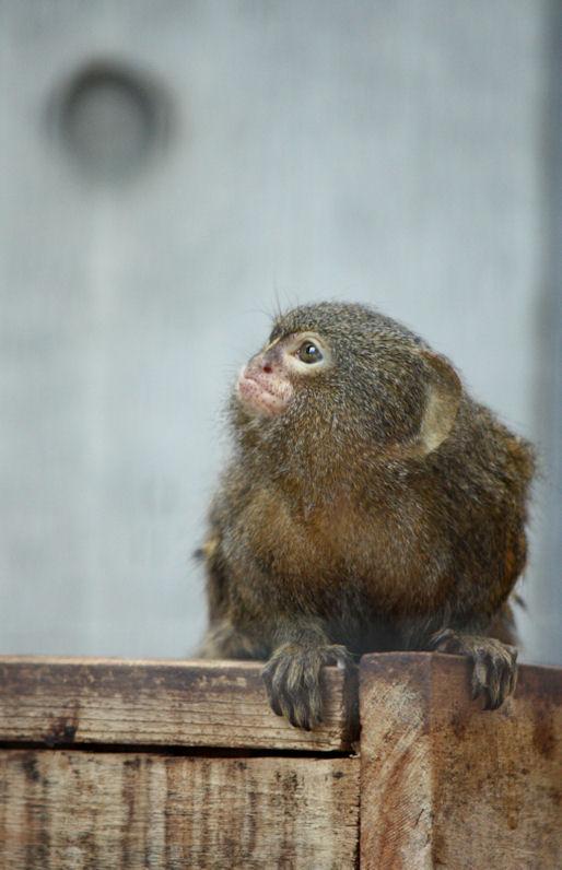 '12.10.14 pygmy marmoset 9292