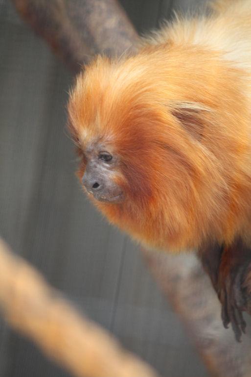 '12.10.14 golden lion tamarin 9296