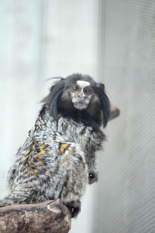 '12.10.14 black-tufted marmoset 9283