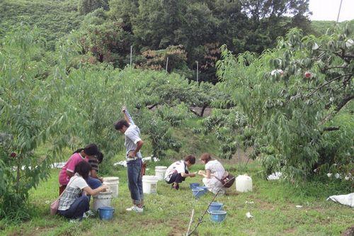 神奈川周辺山梨の桃狩り食べ放題時間無制限