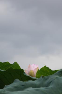 2012_08_14_Iwakuni_Lotus00003.jpg