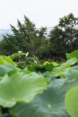 2012_08_14_Iwakuni_Lotus00004.jpg