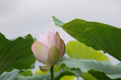 2012_08_14_Iwakuni_Lotus00007_20120821181553.jpg