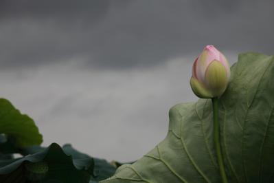 2012_08_14_Iwakuni_Lotus00008.jpg
