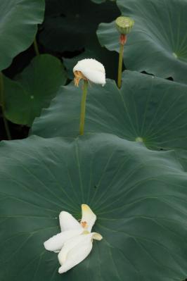 2012_08_14_Iwakuni_Lotus00011.jpg