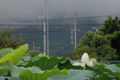 2012_08_14_Iwakuni_Lotus00014.jpg