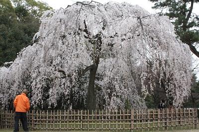 IMG_6765 御所桜2