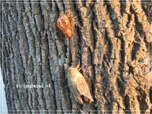 蝉の脱皮_1