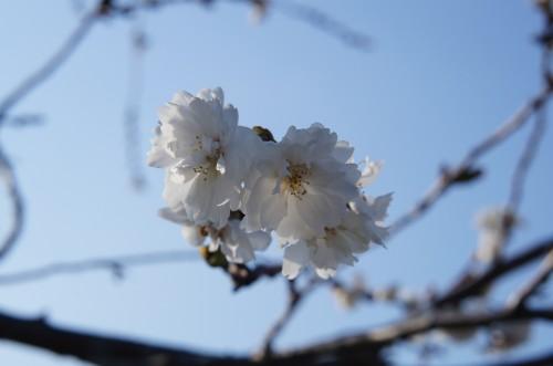 福島県 桜
