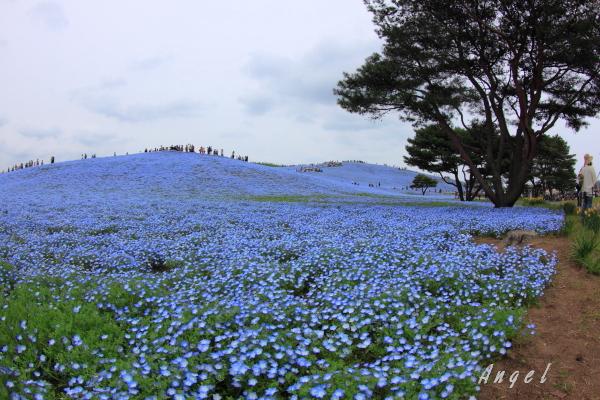 ネモフィラの丘(201204300007)