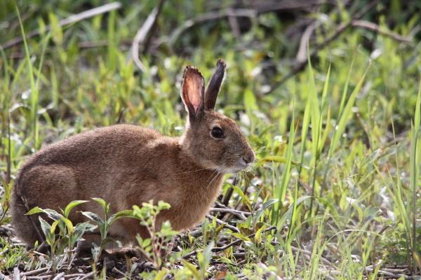 ノウサギ(201204298628)