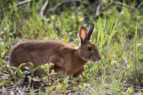 ノウサギ(201204298634)