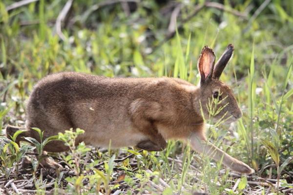 ノウサギ(201204298635)