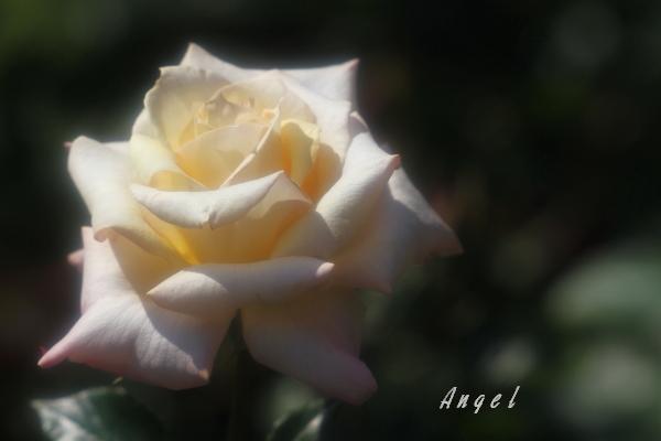 春バラ(201205191145)