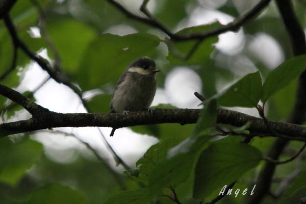 ヤマガラ幼鳥(201206175347)