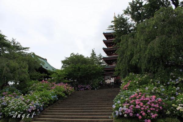 本土寺あじさい(201206220005)