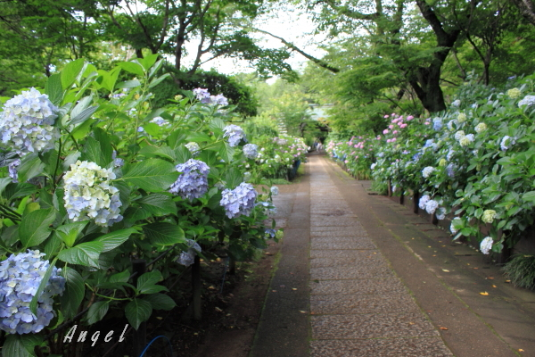 本土寺あじさい(201206220055)