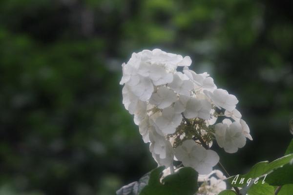 本土寺あじさい(201206225389)