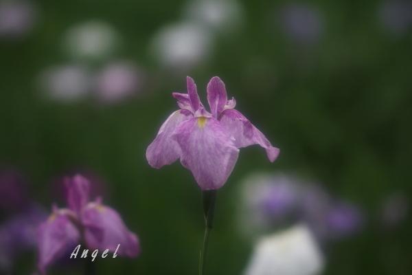 本土寺花菖蒲(201206225402)