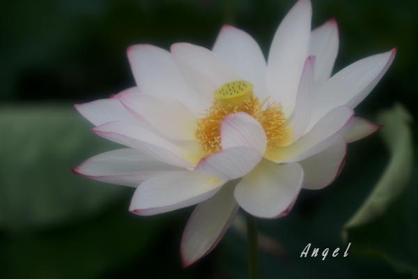 嘉祥蓮(201207150714)