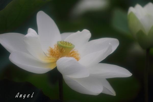 真如蓮(201207150753)