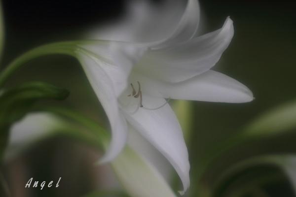 ハマユウ(201207150813)