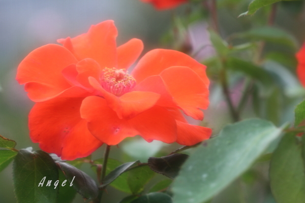 オレンジバニー(20122356)
