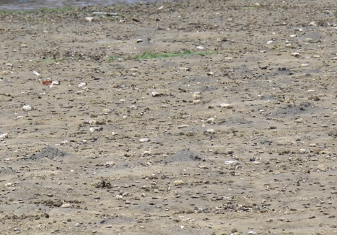 ④干潟の生き物観察6(ハクセンシオマネキの群れ)IMG_6188a01L