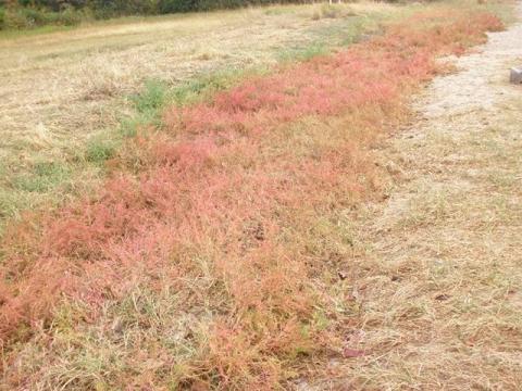 ハママツナの紅葉