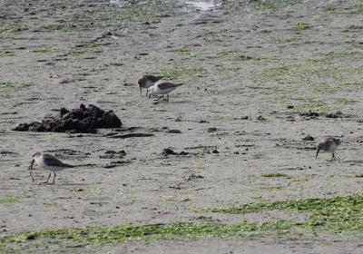 ⑧海の広場前で採餌するハマシギとミユビシギIMG_0225a01L