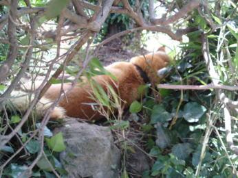 昼寝する柴犬「シド」