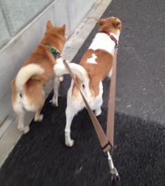 2頭用リードでお散歩