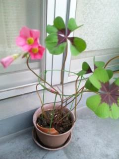 かたばみ 開花