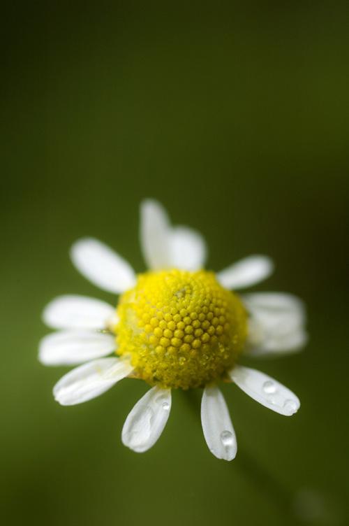 chamomile13_7_3_2.jpg