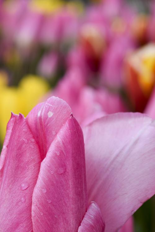 tulip_14_1_22_3.jpg
