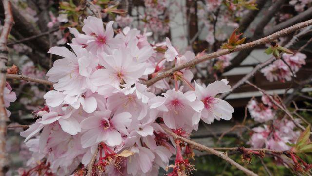桜2013-01b