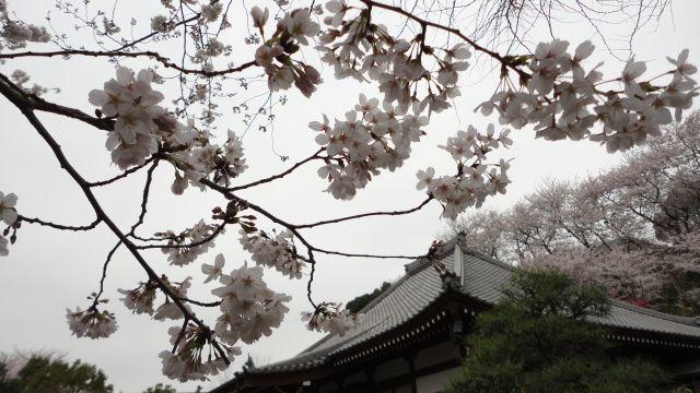 桜2013-01a