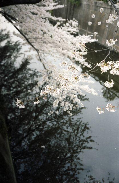 桜2013-02f