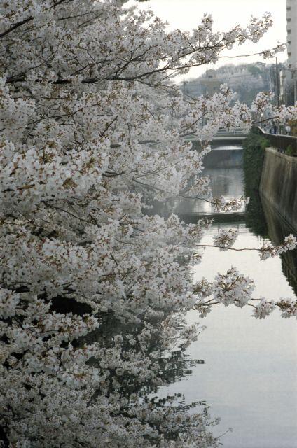 桜2013-02d