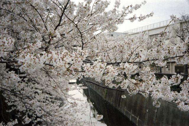 桜2013-02b
