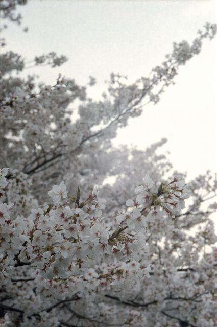 桜2013-02c