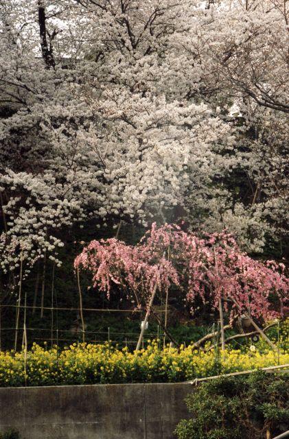 桜2013-03a