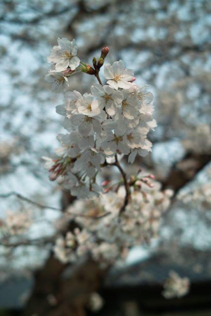 桜2013-04d