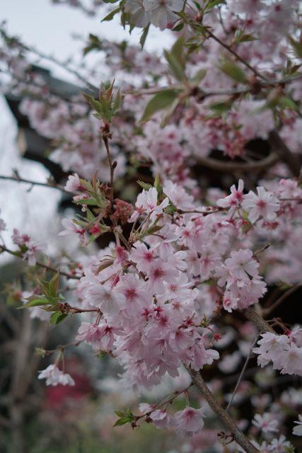 桜2013-04c