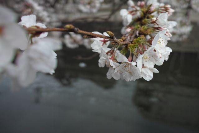 桜2013-04a