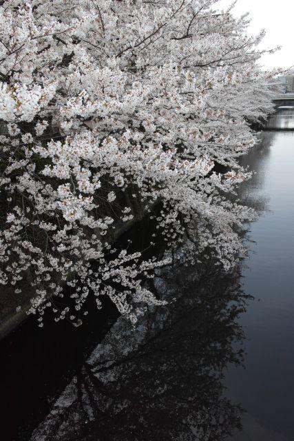 桜2013-04b