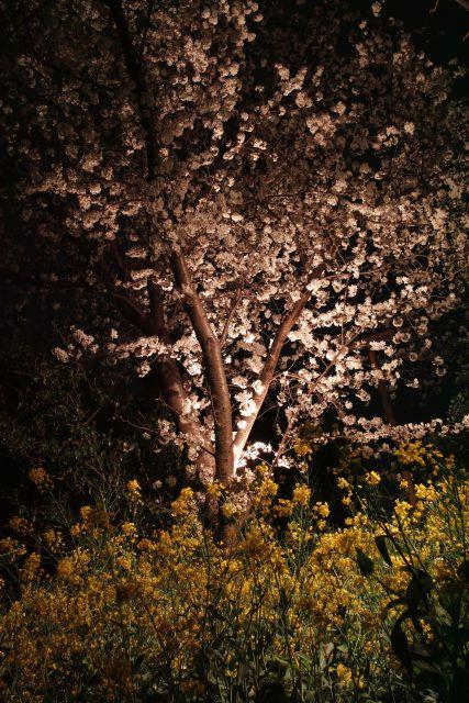 桜2013-05b