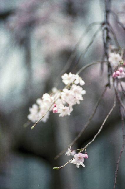 桜2013-06f